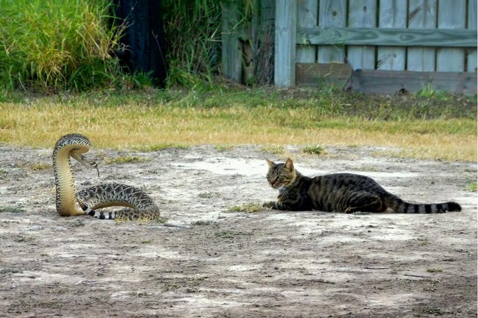 Cat v snake
