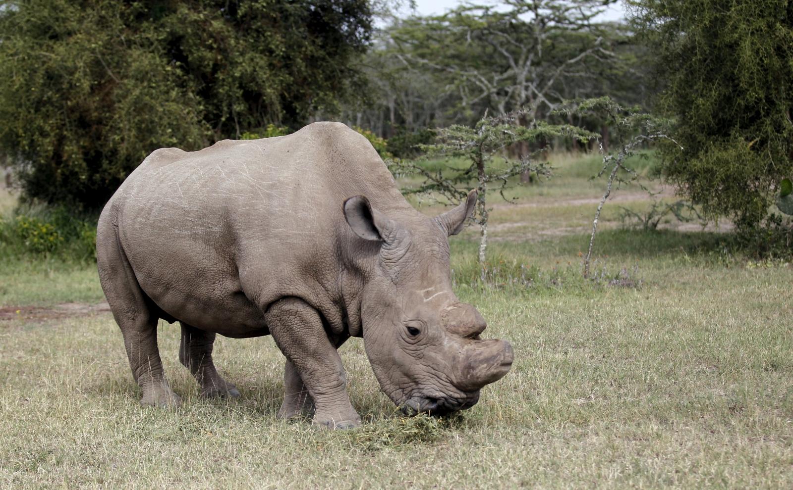 World's last northern white rhino