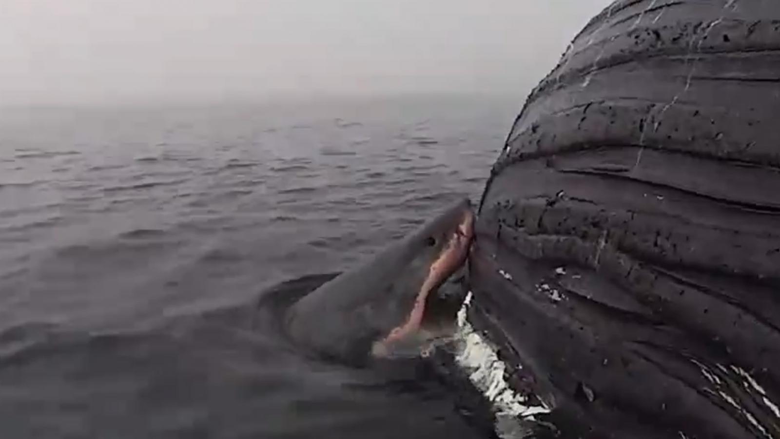 Watch as female white shark tears chunks off huge whale