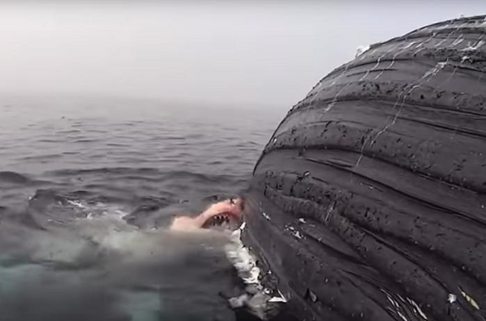 Shark eats whale