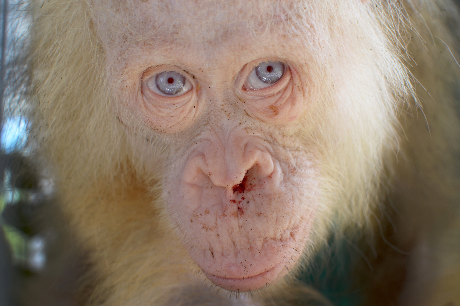 Extremely Rare And Beautiful Albino Orangutan Rescued From