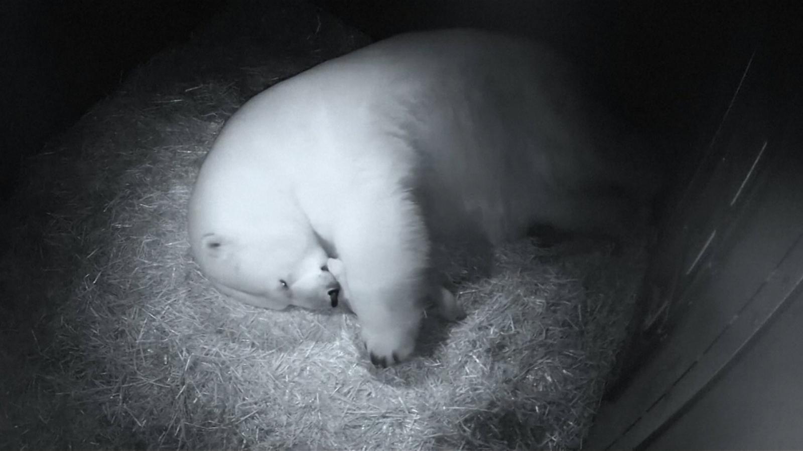 twin-polar-bear-cubs-born-at-sea-world-in-australia