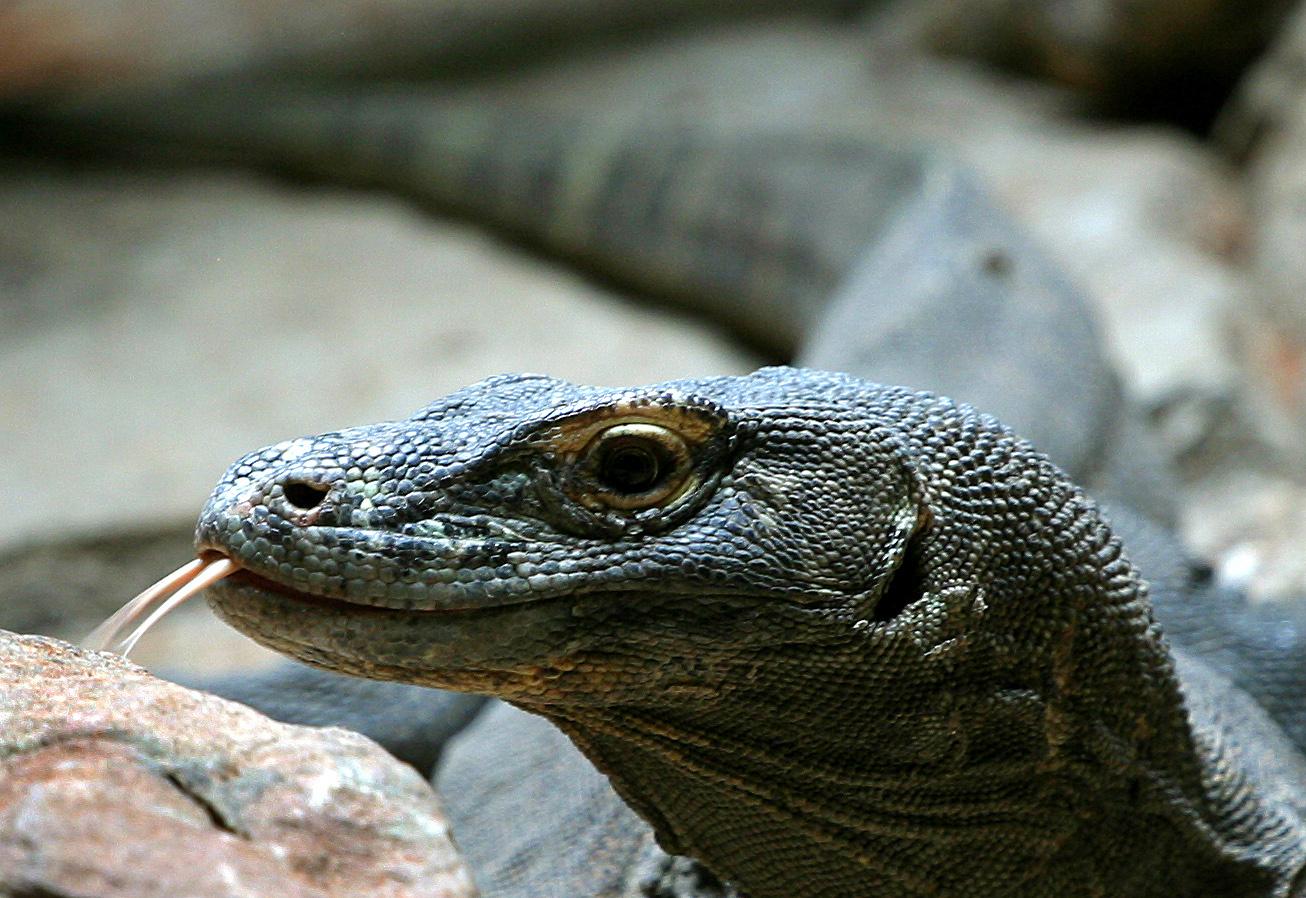 Komodo dragon bites tourist in Indonesia