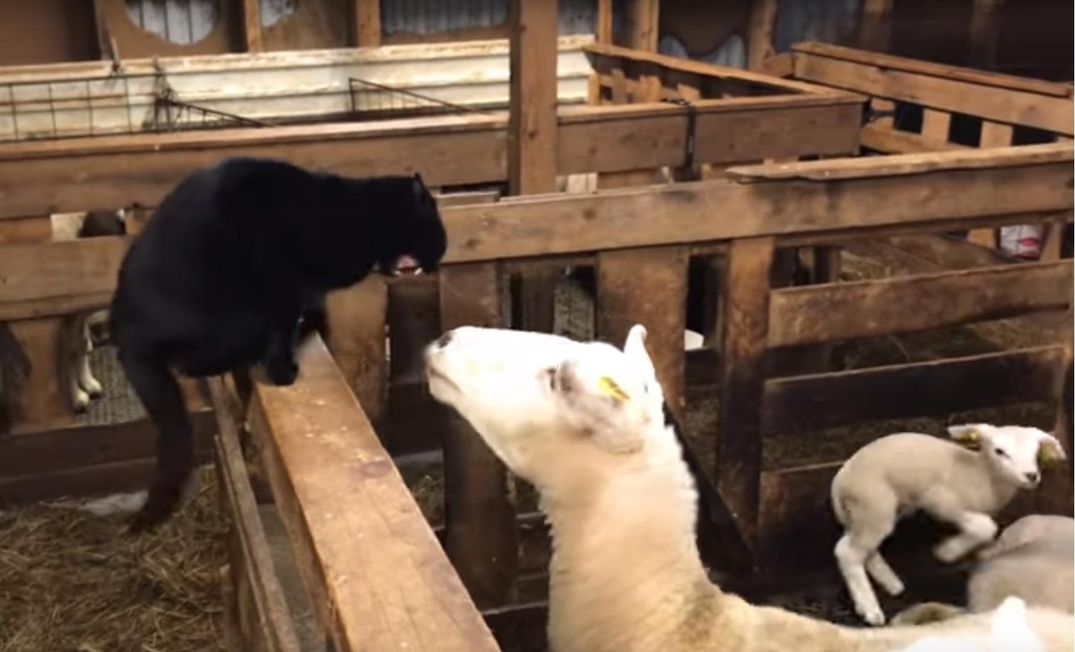 Sheep versus cat