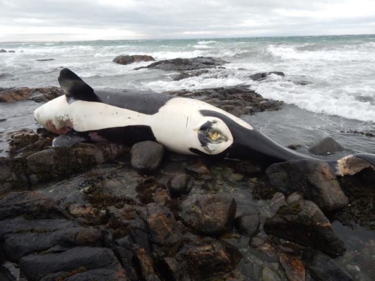 Lulu killer whale orca