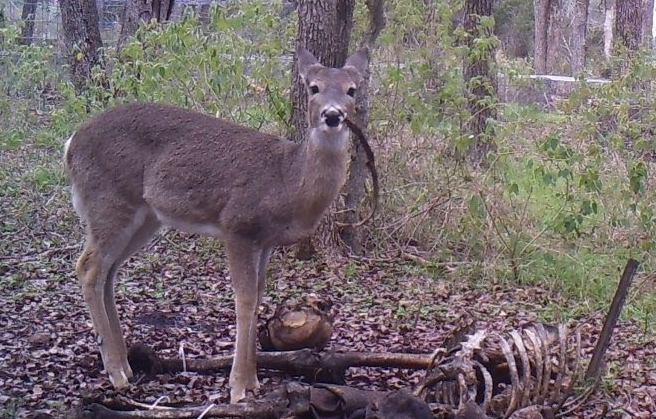 deer eating human remains
