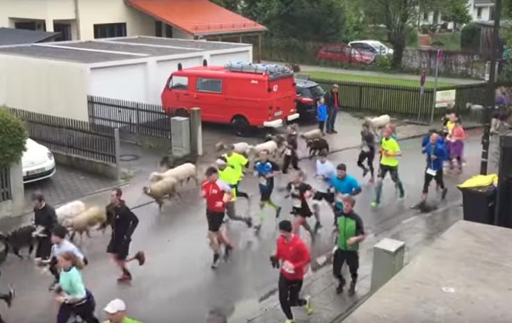 Farm animals join in fun run