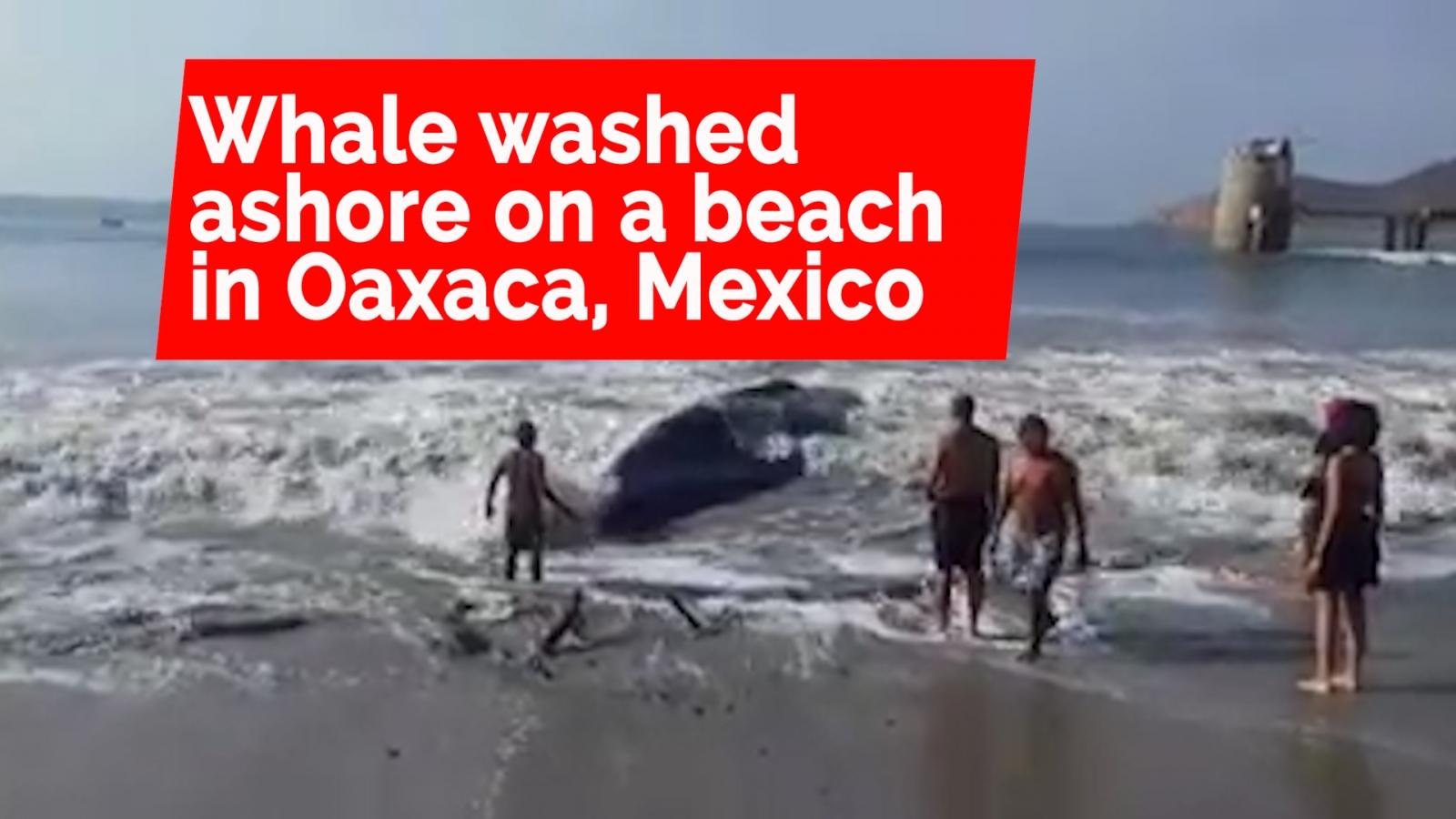 Volunteers Rescue a Whale that Beached Itself on the Shores of Ensenada de la Ventosa