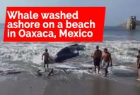 Volunteers Rescue a Whale that Beached Itself on the Shores of Ensenada de la Ventosa