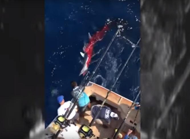 Shark shot to death