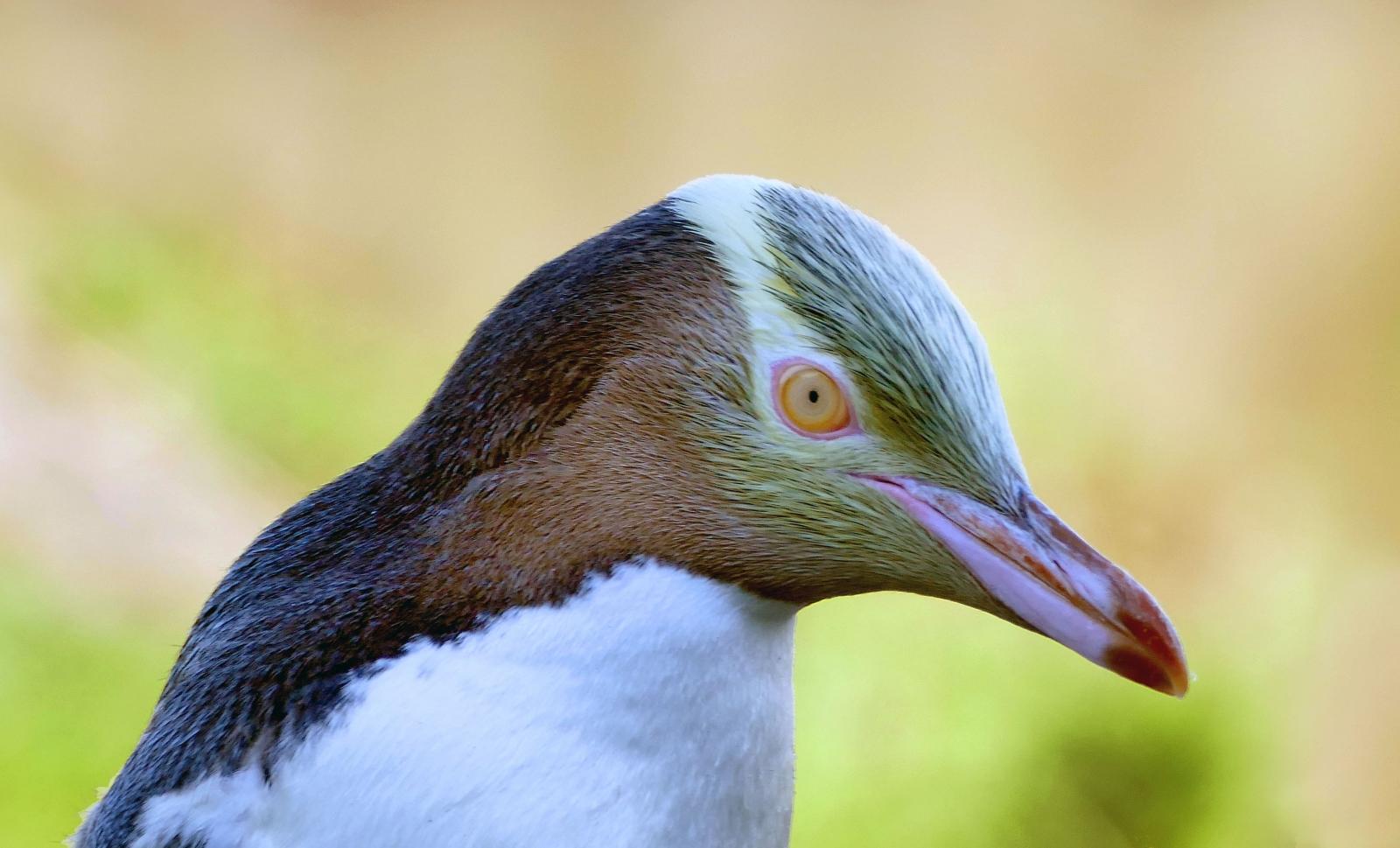 Eye of the penguin