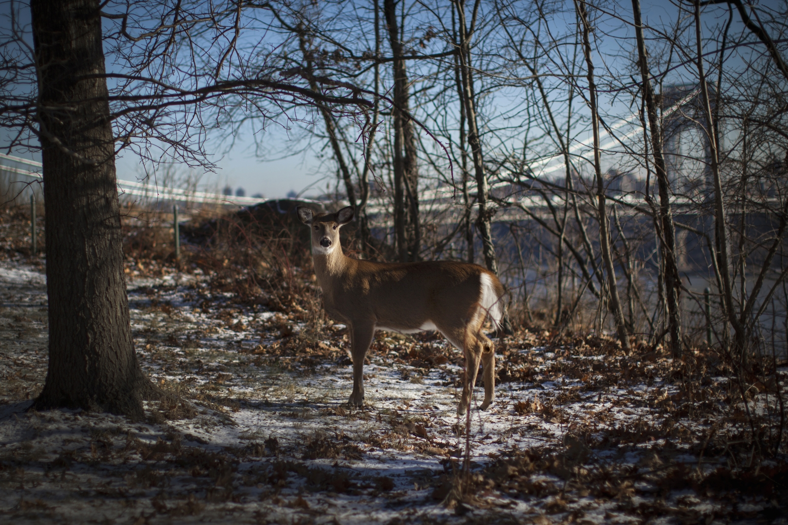 Deer enters walmart