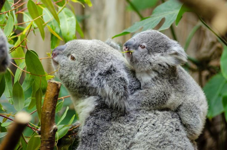 East Australia: Koalas facing extinction as bulldozing