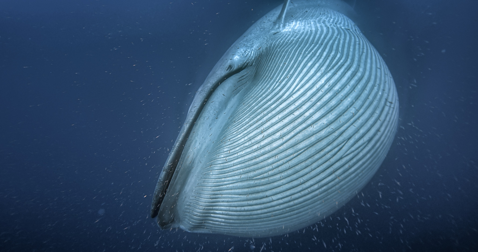 How whales got so big: mystery solved?