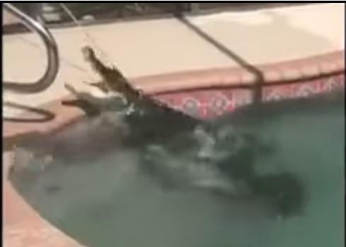 Alligator in florida home