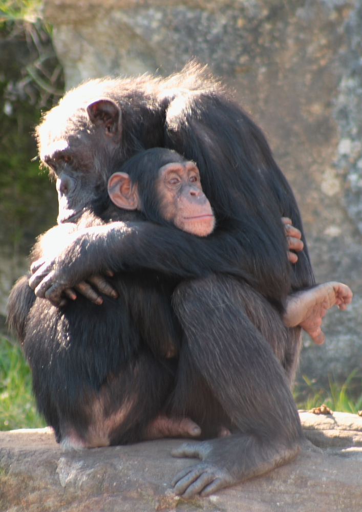 Chimpanzees hug