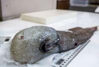 faceless fish