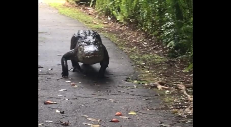 Snaggletooth the alligator