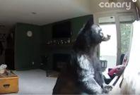 Bear in Colorado home