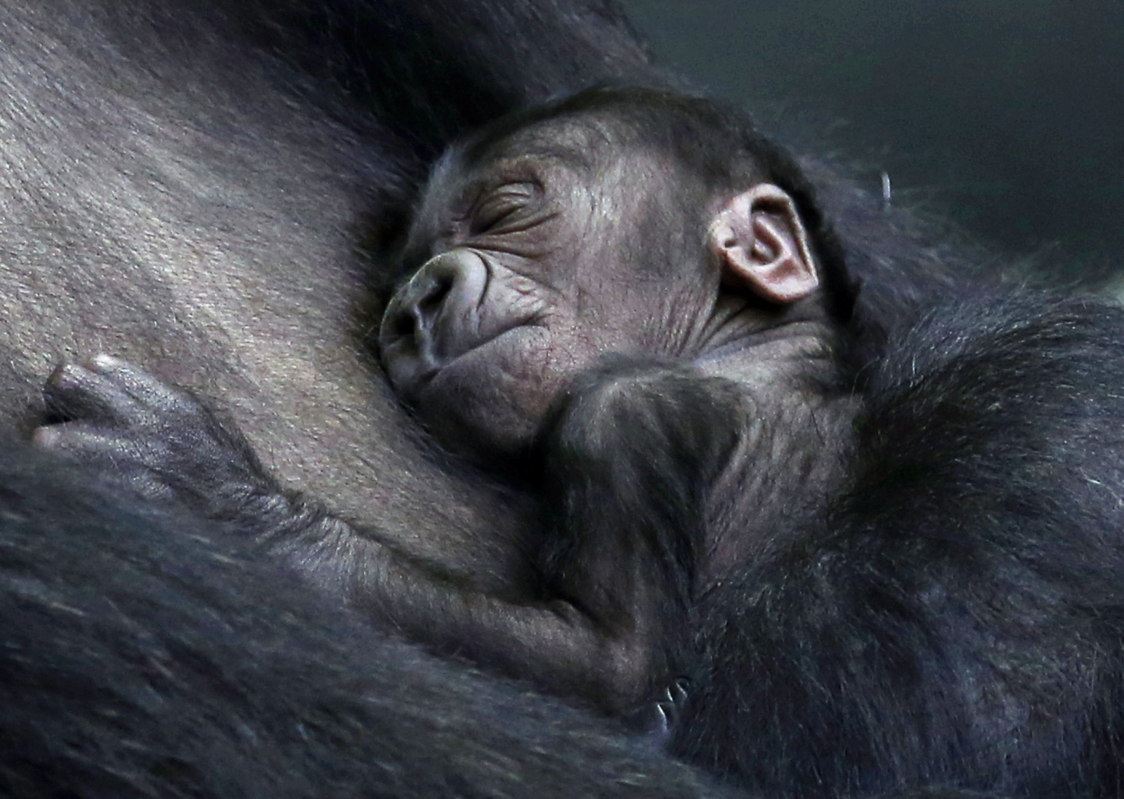Fce F C moreover Zoo X likewise Ginger Baby Monkey At London Zoo besides Img B also Maxresdefault. on baby zoo animals