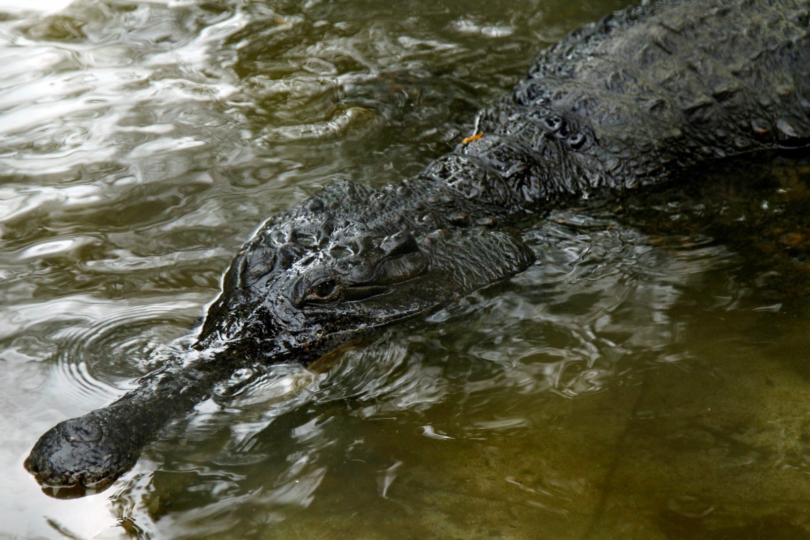 Crocodile that snatched 20-year-old girl dies in north India