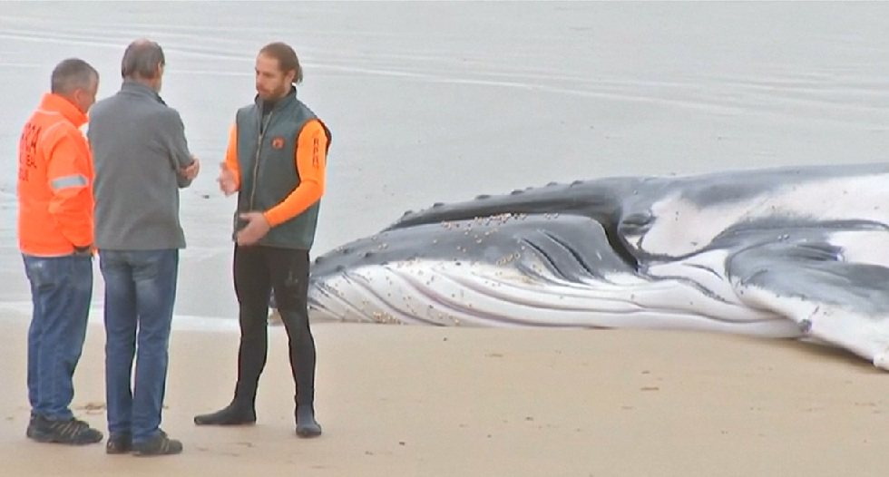 humpback whale euthanised