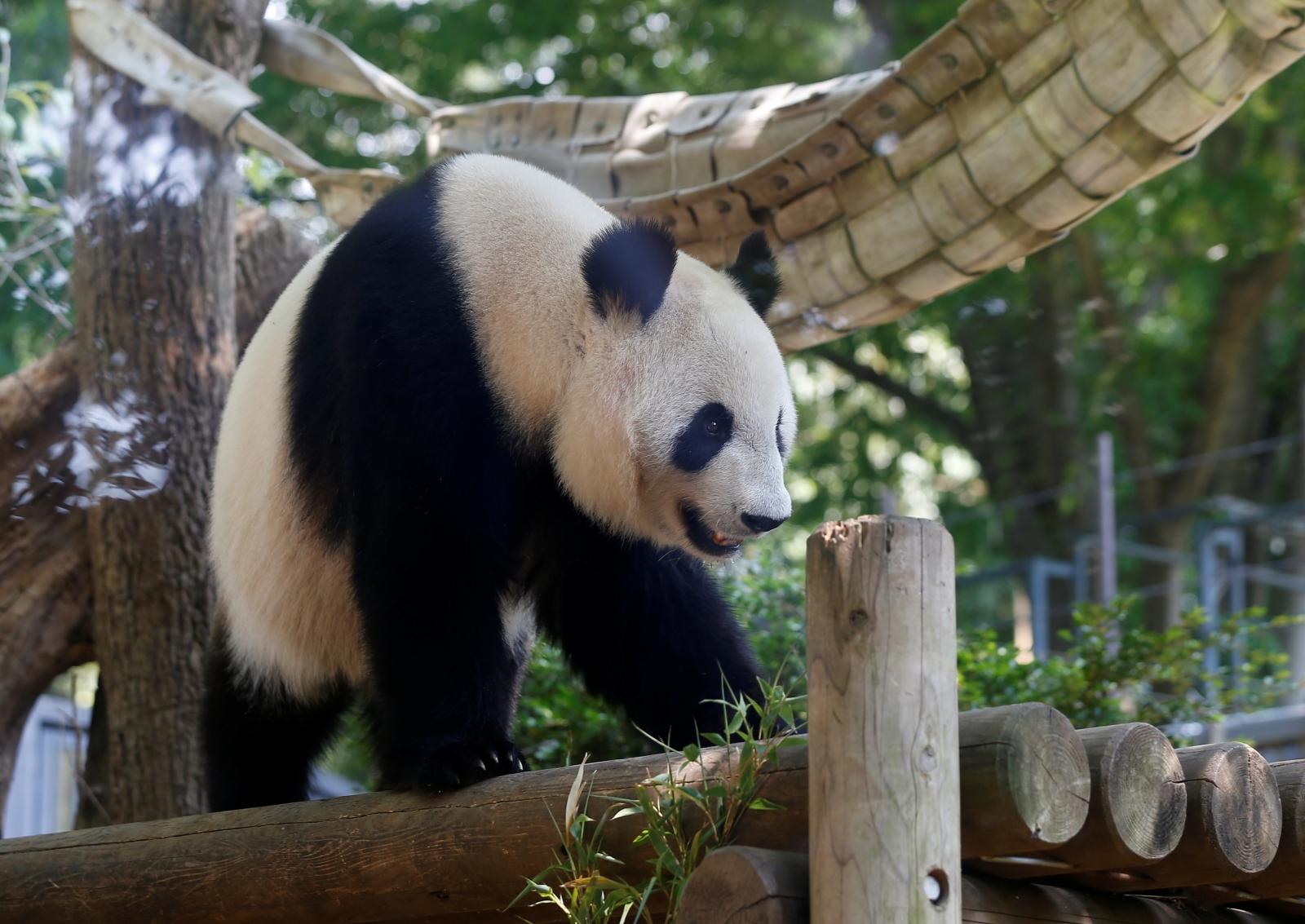 Giant panda Shin Shin