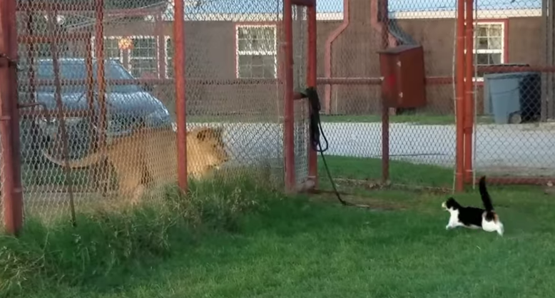 Cat versus Lion