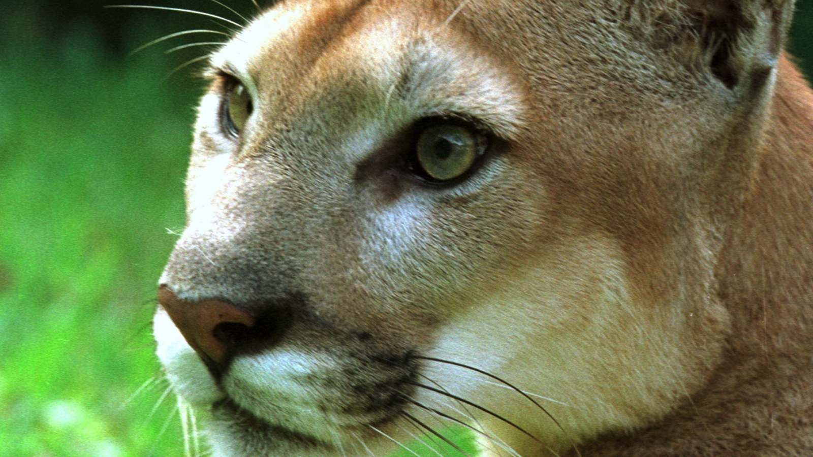 pumas-aka-mountain-lions-are-more-afraid-of-humans-than-we-thought