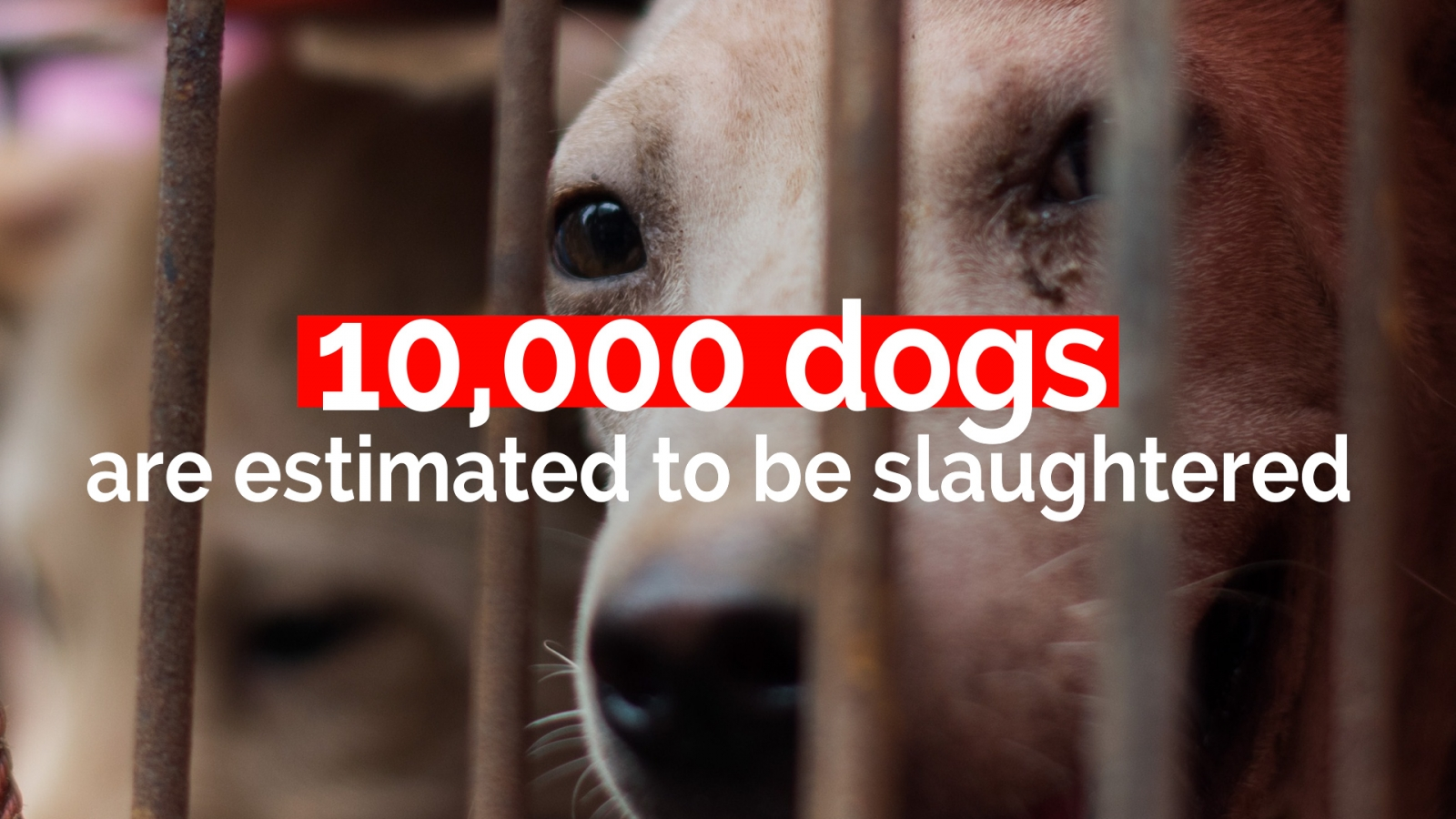 Eating dogs for health? The Yulin Dog Meat Festival