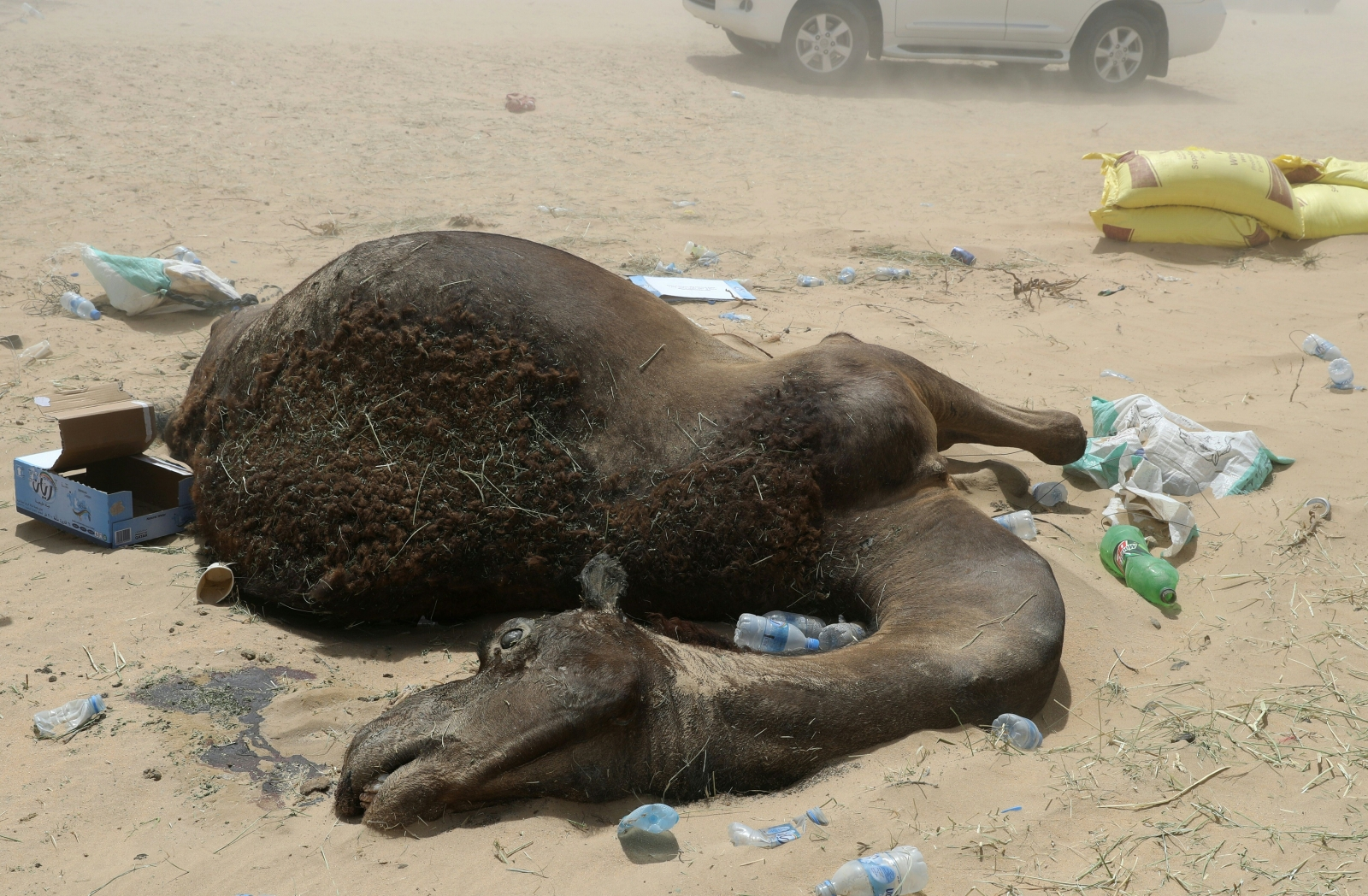 QATAR-SAUDI-DIPLOMACY-ANIMAL-CAMEL