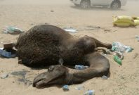 QATAR-SAUDI-DIPLOMACY-ANIMAL-CAMEL