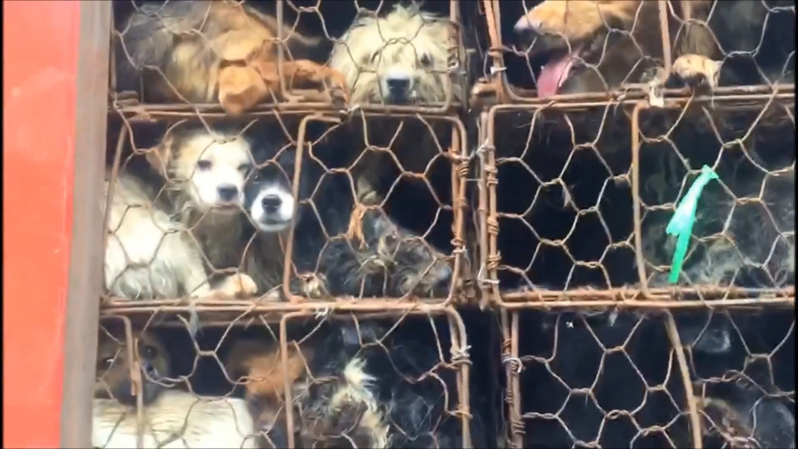 activists-rescue-nearly-1000-dogs-and-cats-heading-to-slaughterhouses-in-china