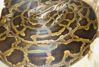 burmese pythons