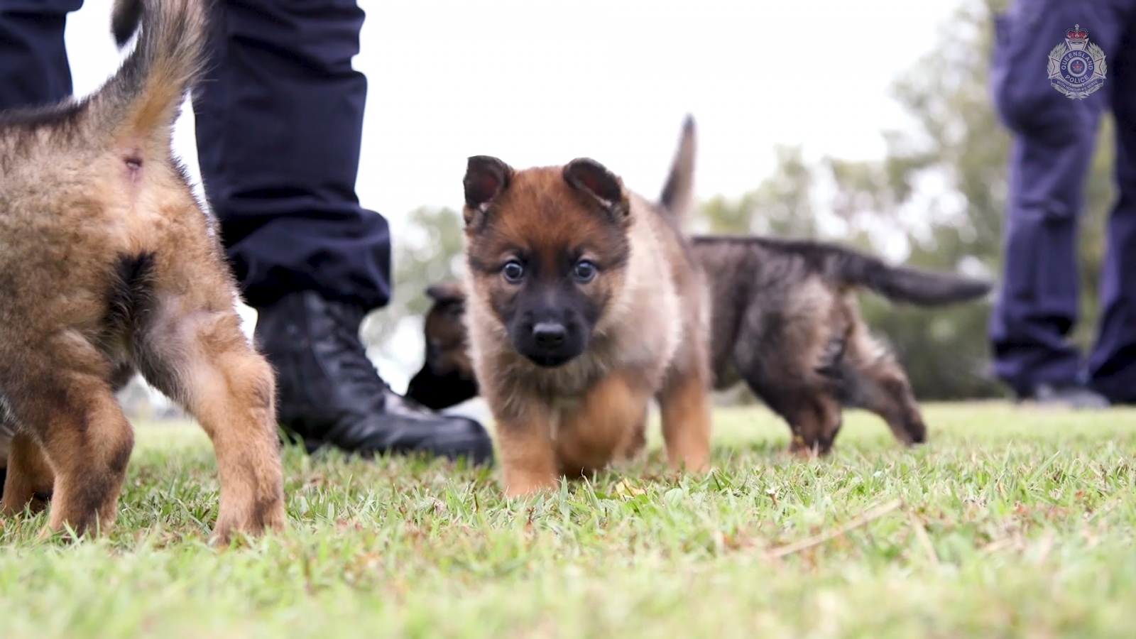 queensland-police-forces-adorable-new-recruits-are-of-the-fluffy-variety