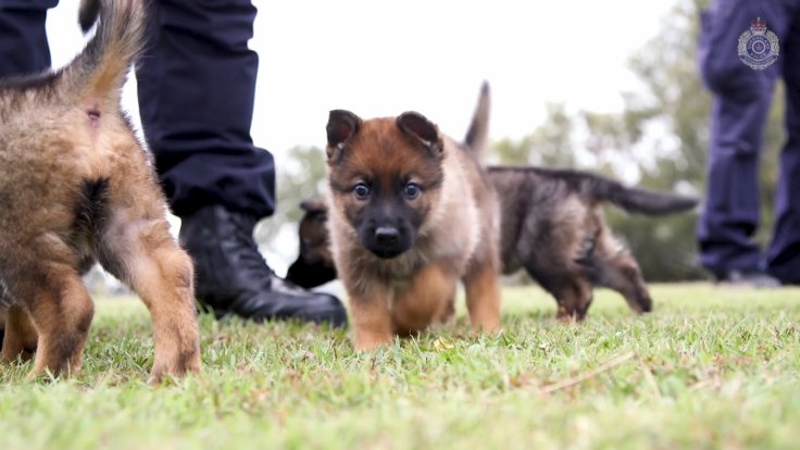 Queensland Police Force's Adorable New Recruits are of The Fluffy Variety