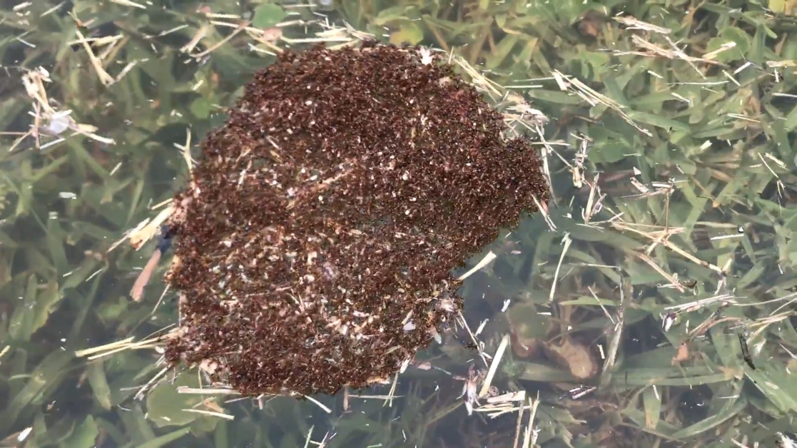 watch-clever-fire-ants-form-a-raft-during-floods-in-texas