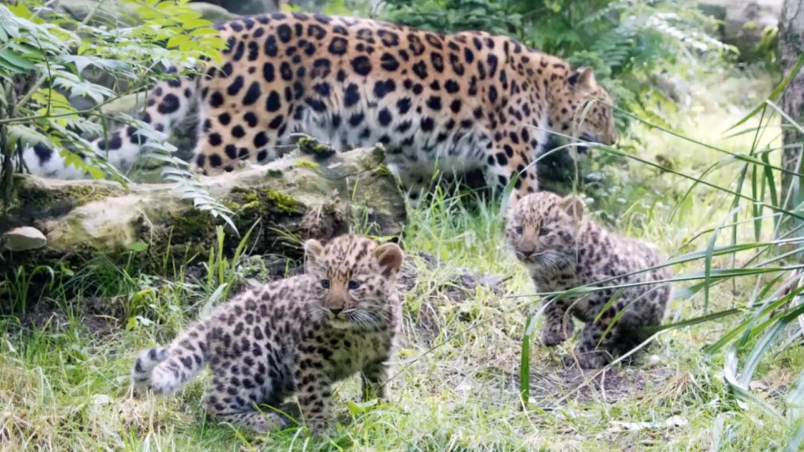 two-adorable-rare-amur-leopard-cubs-make-german-zoo-debut