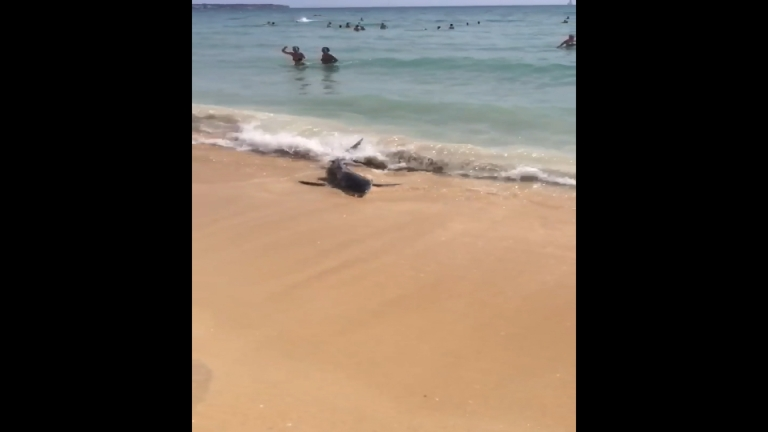 blue-shark-beaching-on-majorca-shore-caught-on-camera
