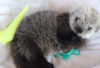 Adorable Sea Otter Pup Rescued From Open Waters