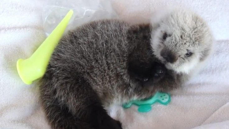 adorable-sea-otter-pup-rescued-from-open-waters