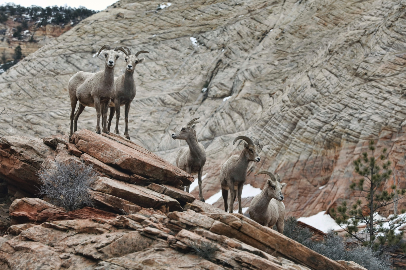 Bighorn sheep in Utah