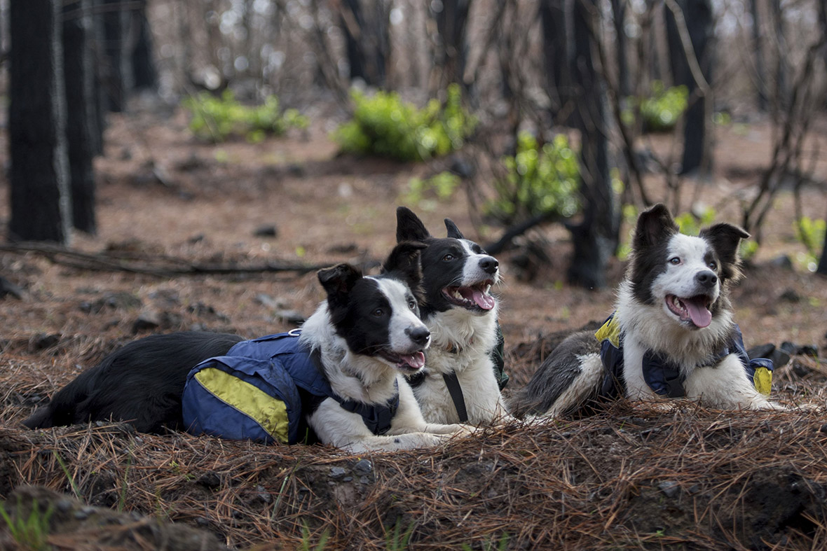 Border collies chile forest fires