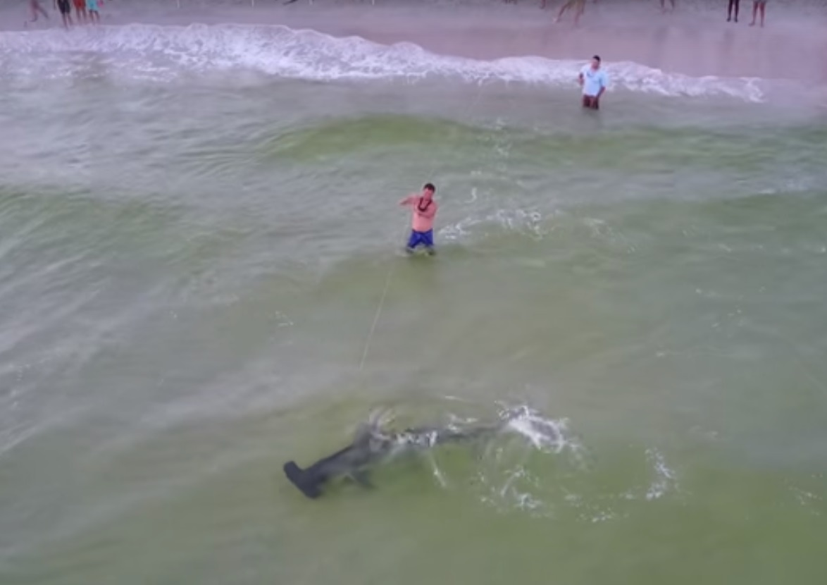 Hammerhead Shark Caught From Beach