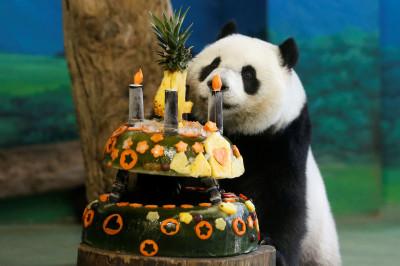 Giant panda Yuan Zai