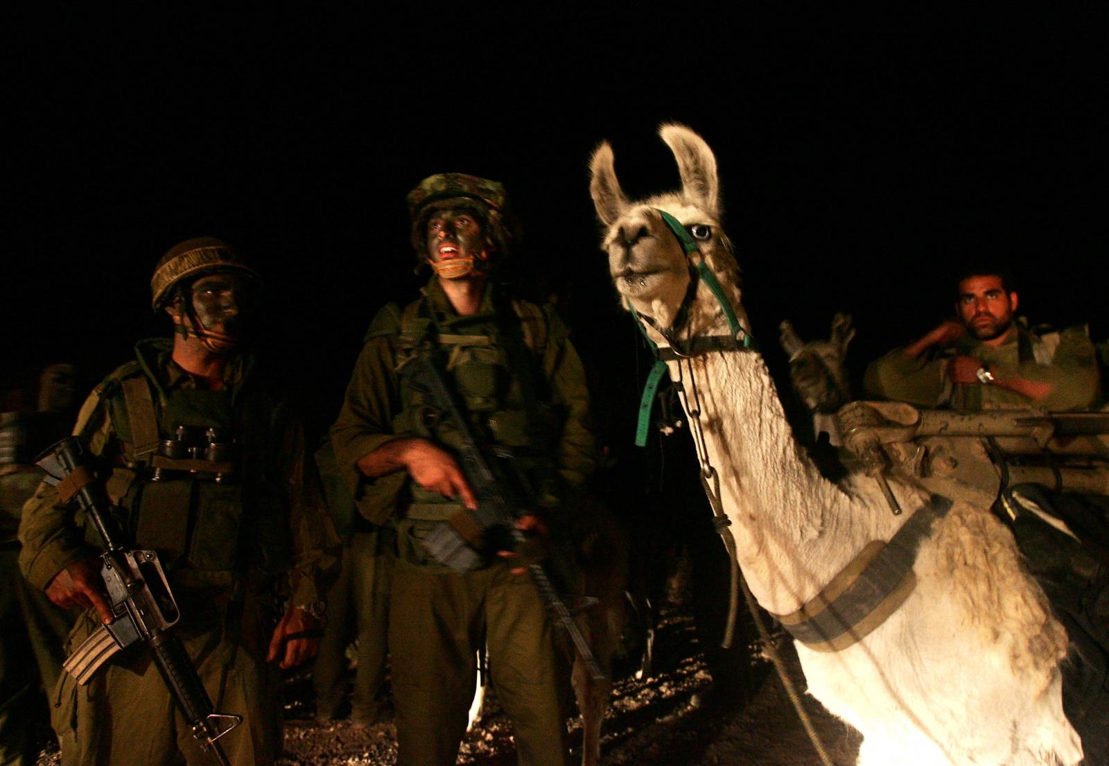 Israel llamas and robots