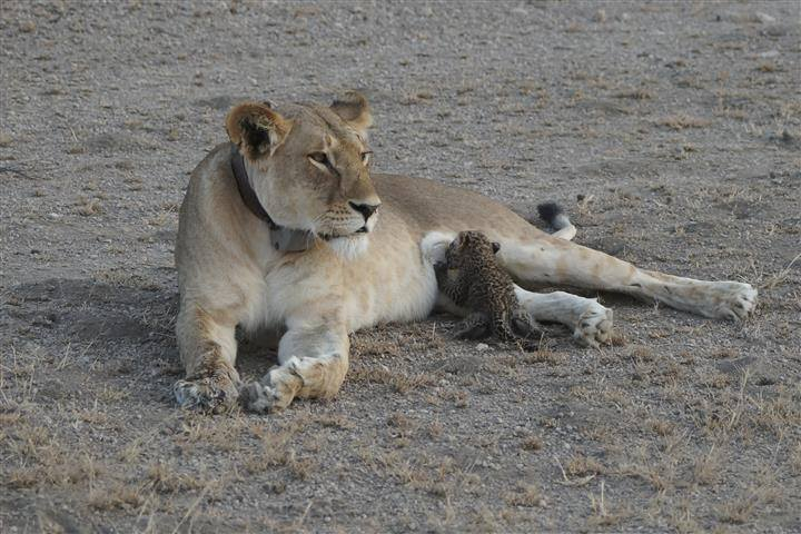 Stunning treat as wild Tanzanian lioness nurses leopard cub