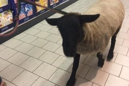 Sheep in Supermarket