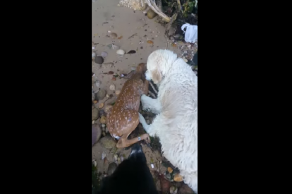 dog rescues baby deer