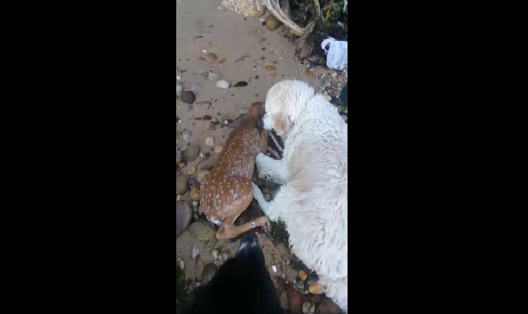 dog rescues baby deer